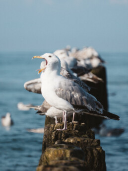 squawking seagull standing on a post in the sea