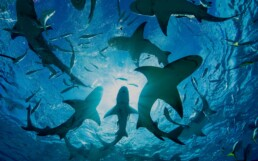 Silhouette of circling sharks,Bahamas