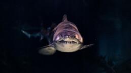 Shark looking at the camera head-on